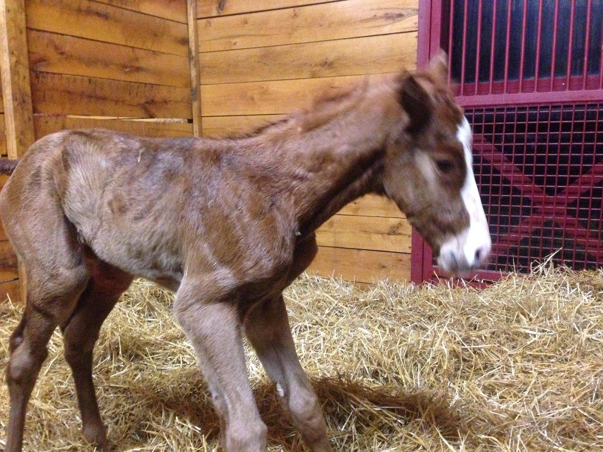 Newborn Justify gets on his feet at Glennwood Farm